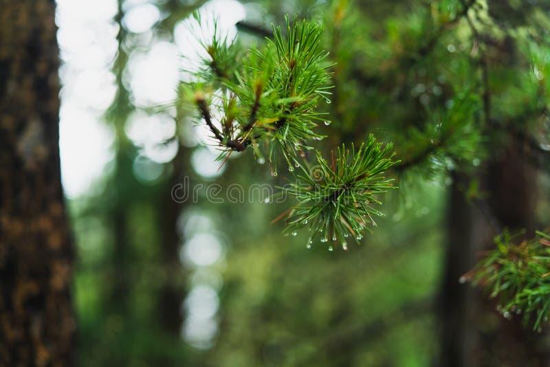 与水垂悬在针的小滴的松树分支 免版税图库摄影