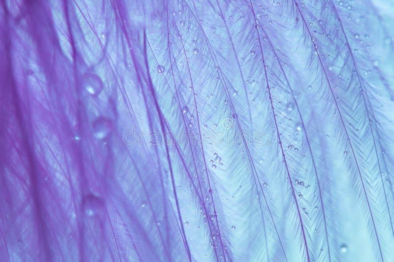 与水小滴的宏观鸟羽毛紫色  与下落的抽象照片 图库摄影