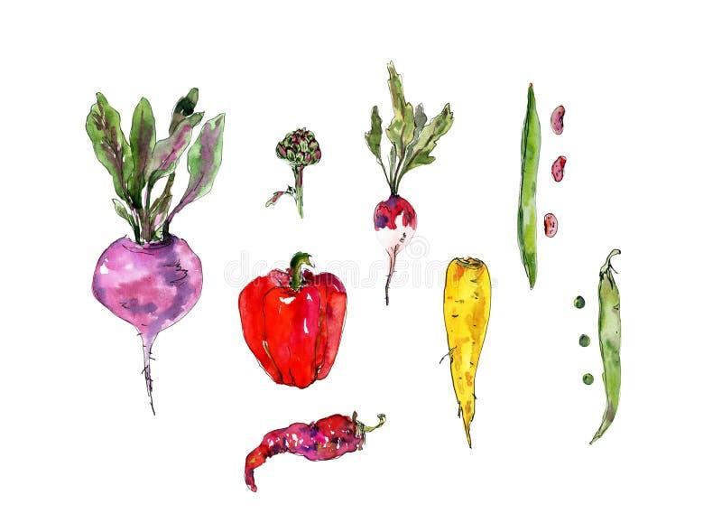 与水彩菜的手拉的集合 甜菜根,萝卜,红萝卜,豆,豌豆,荚,朝鲜蓟,辣椒,响铃 免版税图库摄影