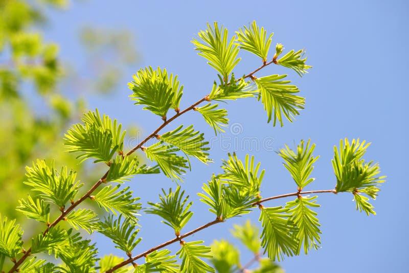与水杉glyptostroboides黎明红木绿色叶子的春天分支  免版税库存图片