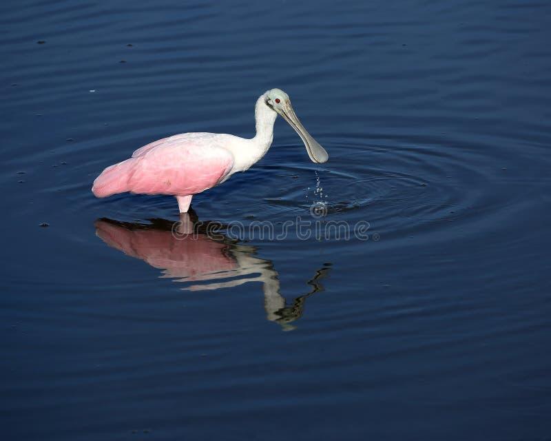 与水水滴的粉红琵鹭从票据 库存照片