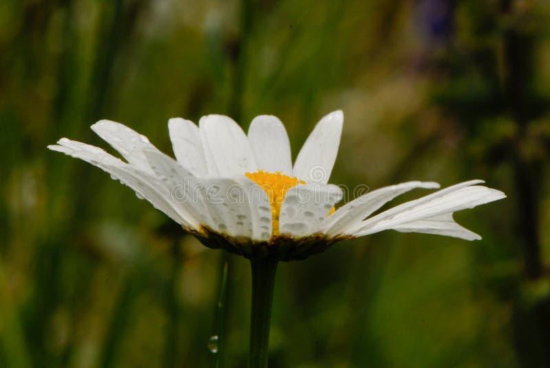 与水滴的延命菊  库存照片