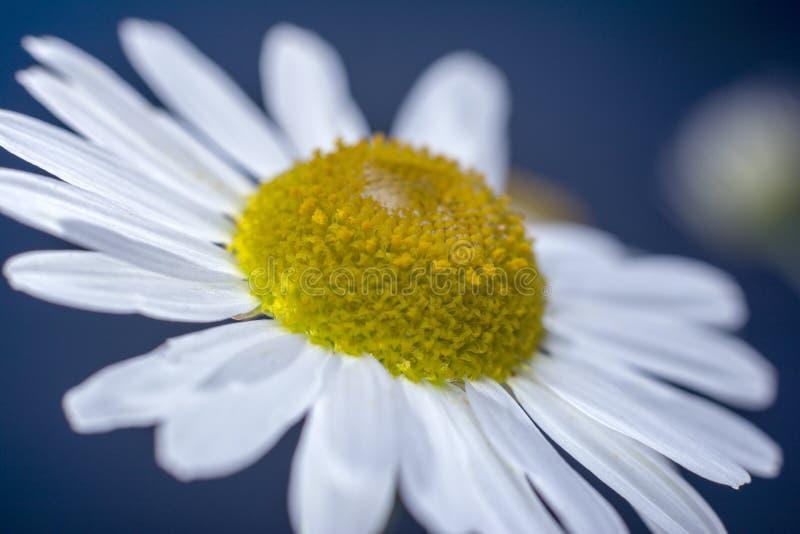 与水滴的春黄菊在白色瓣的 r E 花卉美妙的背景 免版税图库摄影