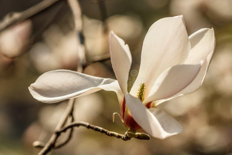 与水滴的美丽的木兰花 免版税库存照片