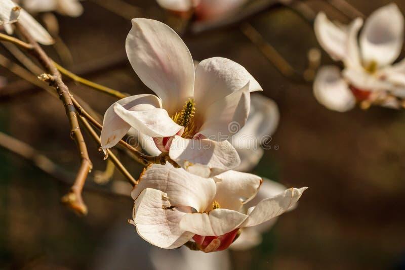 与水滴的美丽的木兰花 免版税库存图片
