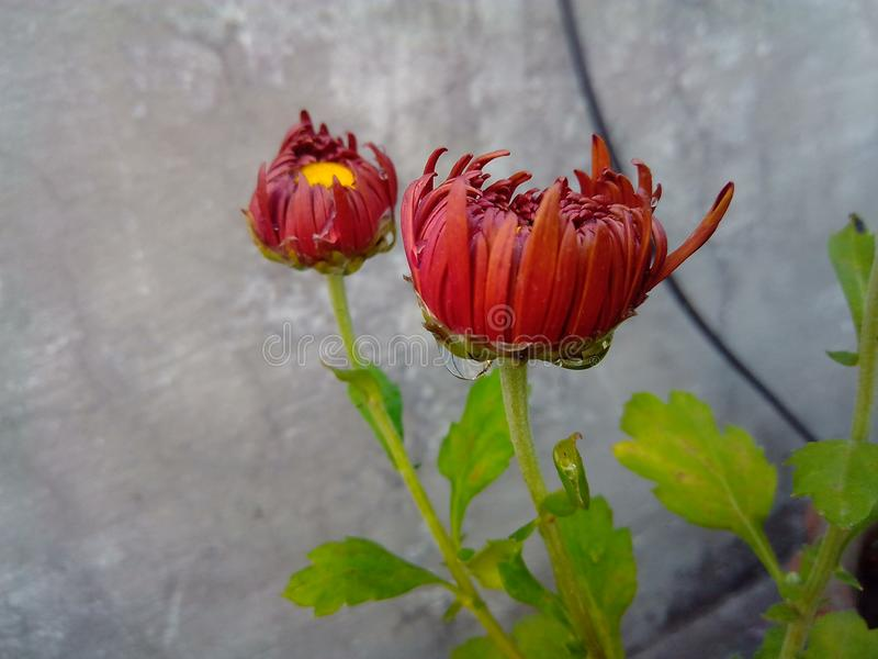 与水滴的美丽的棕色庭院花 免版税库存照片