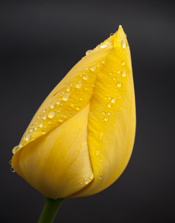 与水滴的黄色郁金香在瓣 免版税库存图片