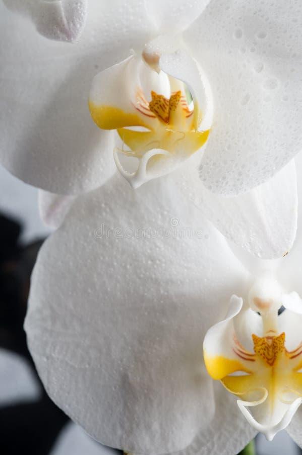 与水的下落的白色兰花花 极端宏观射击 免版税库存图片