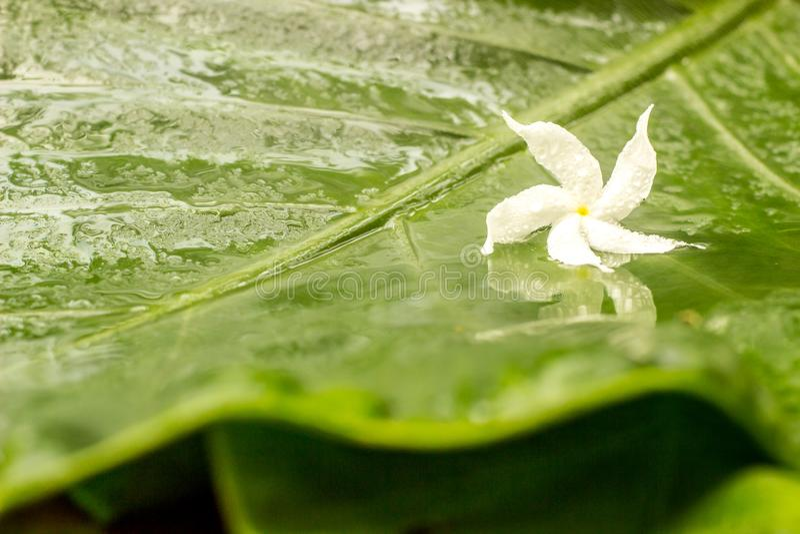 与水露水的白色茉莉花花在湿绿色的瓣离开背景 图库摄影