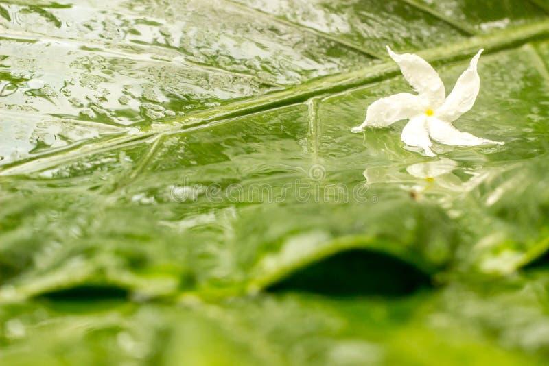 与水露水的白色茉莉花花在湿绿色的瓣离开背景 库存照片