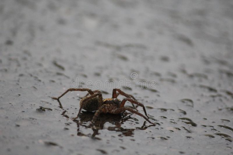 与水飞溅的蜘蛛在路 免版税库存图片