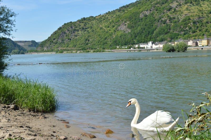 与河莱茵河的天鹅在德国 库存图片