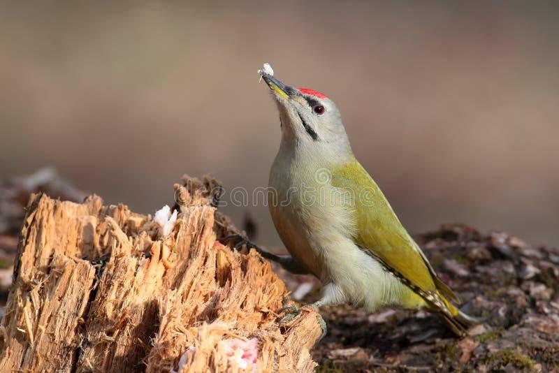 与油脂的公灰色啄木鸟在他的额嘴 温暖的早晨光 库存照片