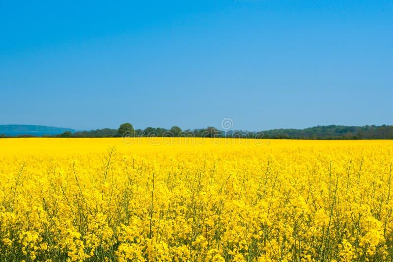 与油菜籽领域的风景 免版税库存照片