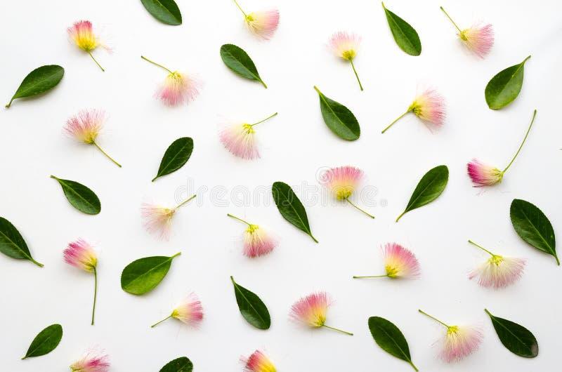 与波斯合欢花和豪华的绿色叶子的花卉被安排的构成在白色背景 平样式 免版税库存照片