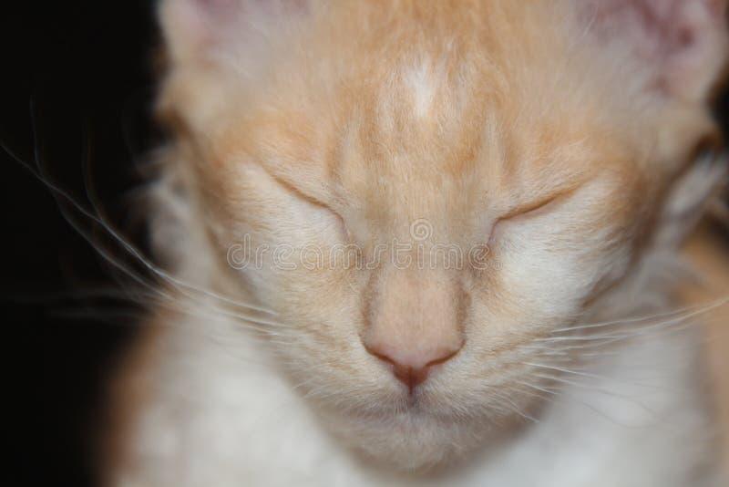 与波浪卷曲的头发的白红色猫 免版税库存照片