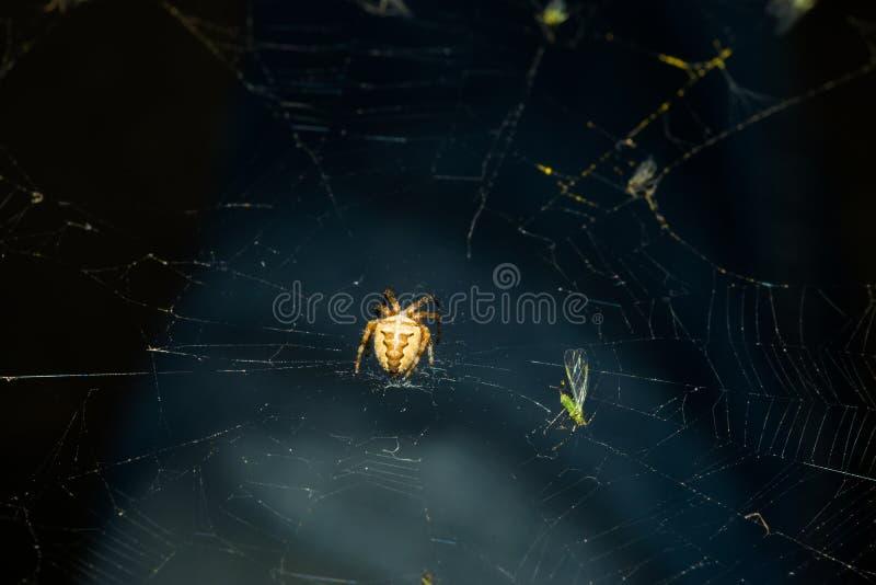 与波浪样式的一只小蜘蛛在腹部,坐蜘蛛网,在后一次绿色飞行被捉住 宏指令 免版税库存照片