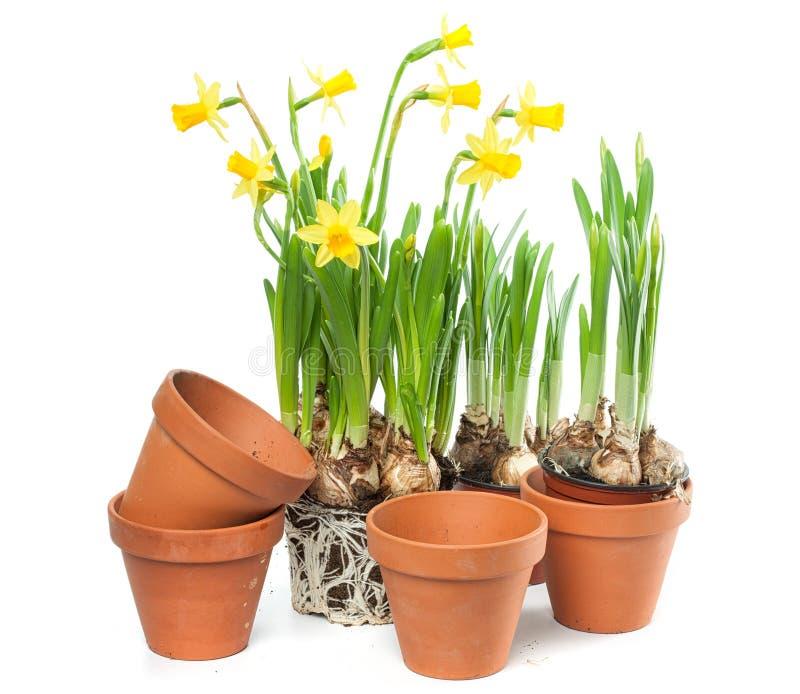 春天花-黄水仙和植物罐 免版税图库摄影