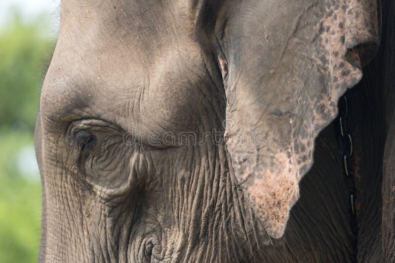 与泪花的大象特写镜头 免版税库存照片