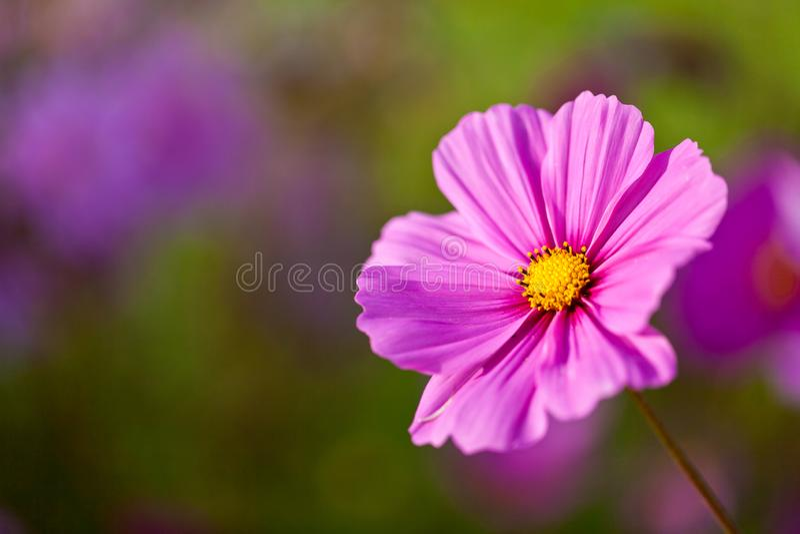 与浅景深的一朵俏丽的桃红色波斯菊花 免版税库存照片