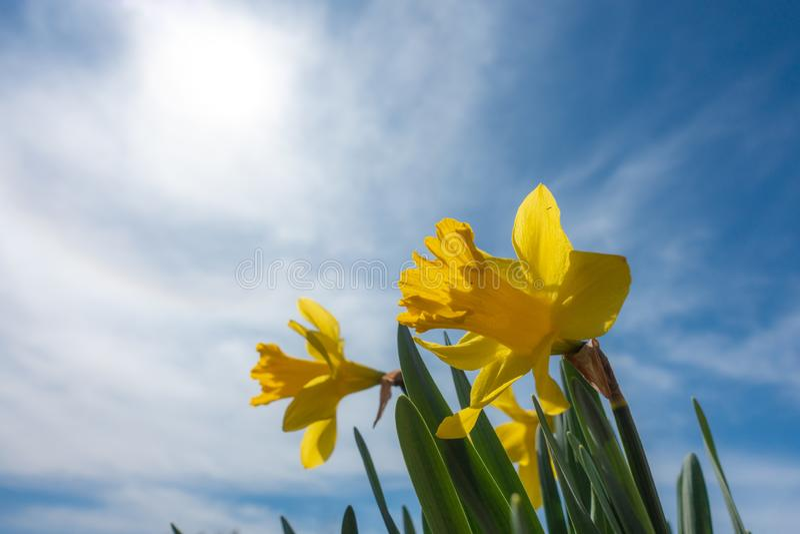 与浅景深的黄色黄水仙-图象 免版税库存图片