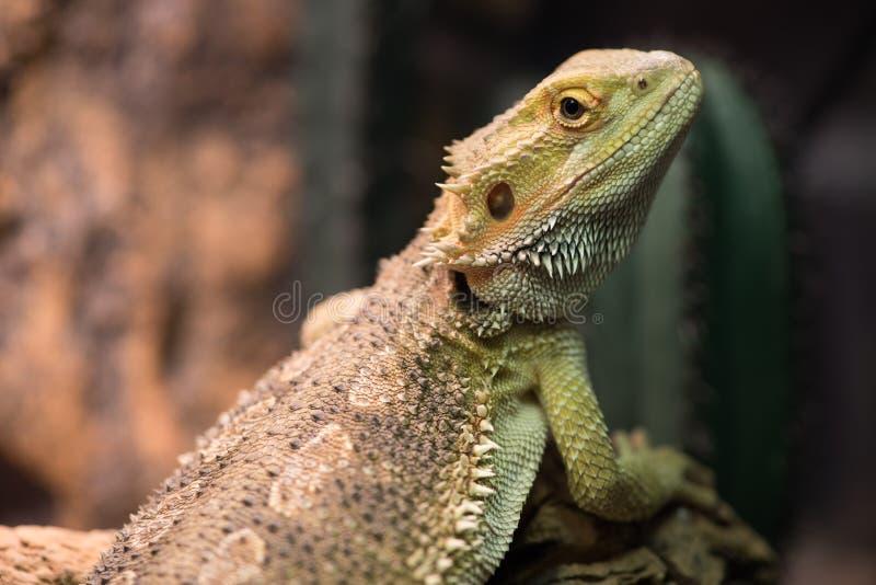 与浅绿色的皮肤的Pogona vitticeps走本质上 库存照片