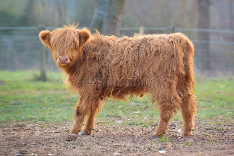 与浅褐色的长和瘦的毛皮的逗人喜爱的幼小苏格兰高地牛小牛 库存图片