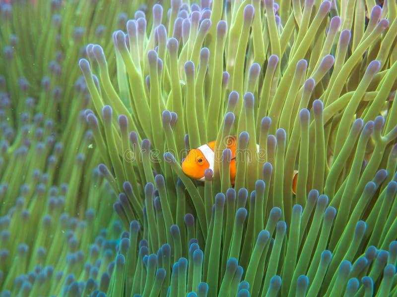 与海葵的银莲花属鱼 库存图片