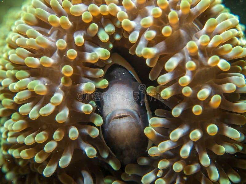 与海葵的银莲花属鱼 库存照片
