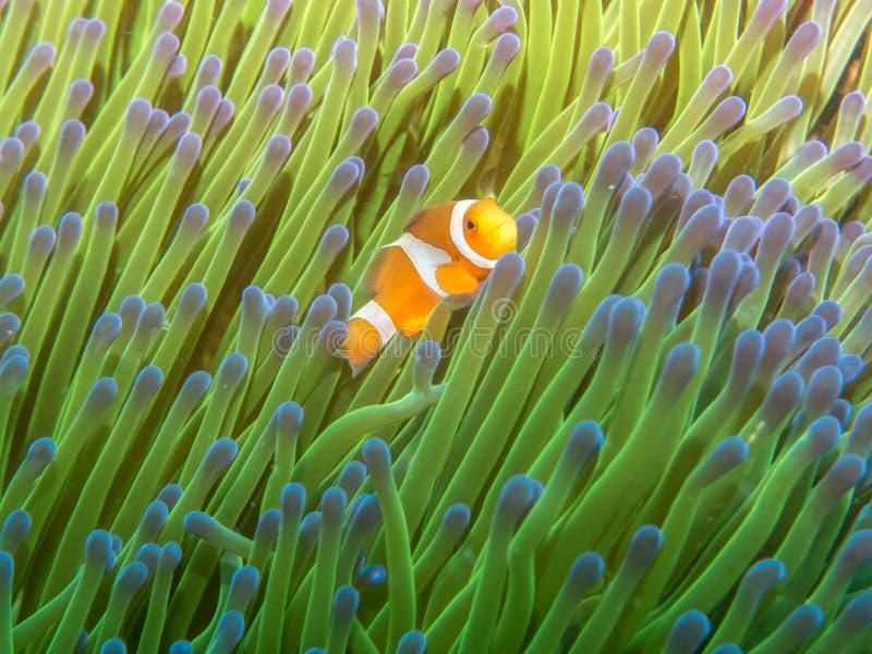 与海葵的银莲花属鱼 免版税库存照片