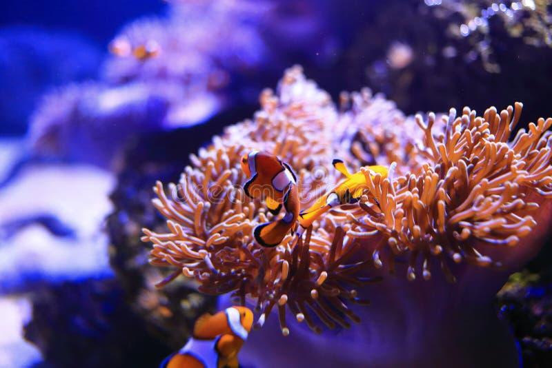 与海葵的Anemonefish 免版税图库摄影
