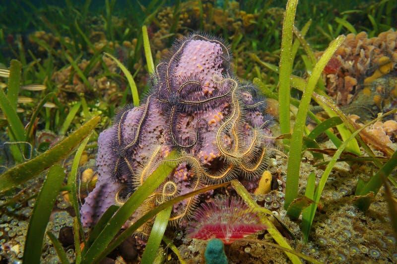 与海蛇尾的水下的生物管海绵 免版税图库摄影
