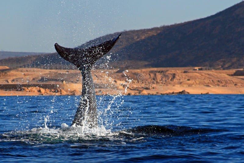 与海洋浪花的鲸鱼比目鱼在Cabo圣卢卡斯墨西哥 库存照片