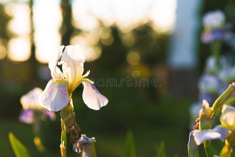 与淡紫色瓣的白百合兰花在一个绿色夏天庭院里 库存照片