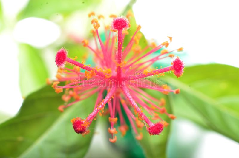 与淡黄色被察觉的雌蕊的桃红色花 免版税库存照片