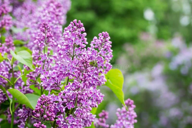 与淡紫色花的自然背景 庭院丁香 图库摄影