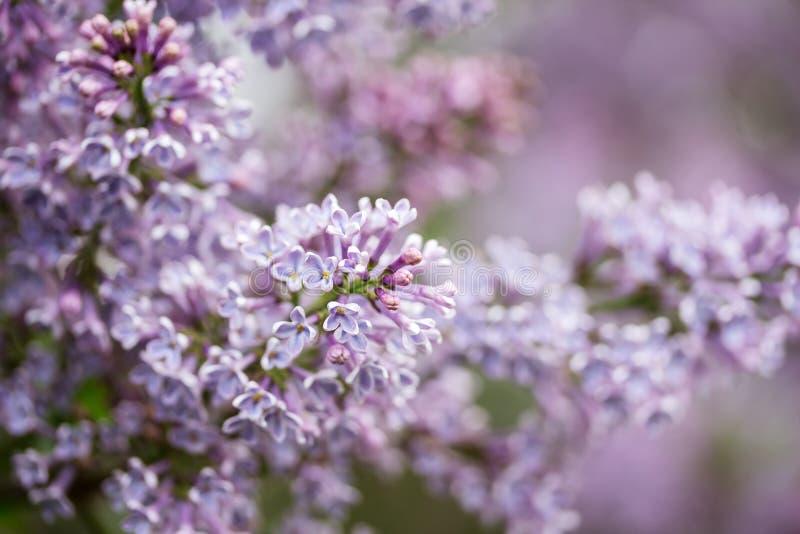 与淡紫色花的自然背景 软绵绵地集中 免版税库存照片