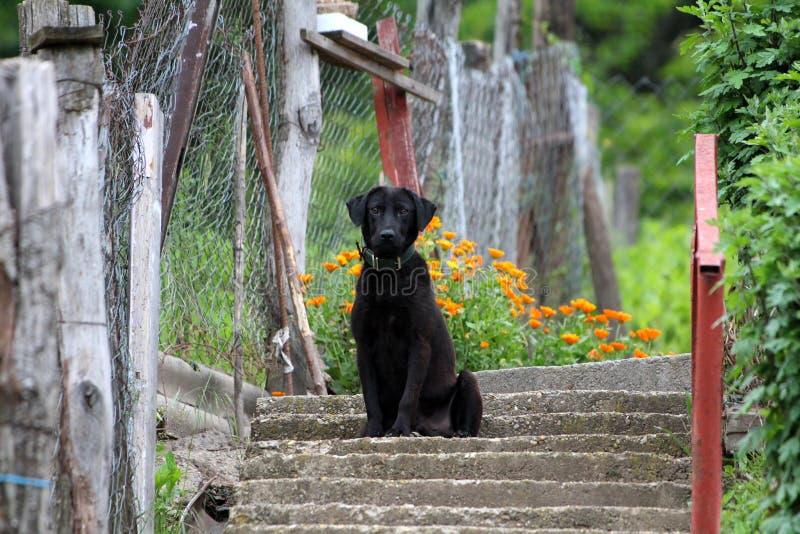 与深绿皮革衣领的哀伤的黑拉布拉多猎犬坐等待他的朋友的具体台阶回来在家 免版税库存照片