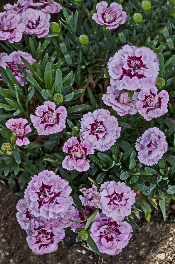 与混合颜色的新鲜的康乃馨花上升了,红色和白色绽放,异教徒和芬芳,区Drujba 库存图片