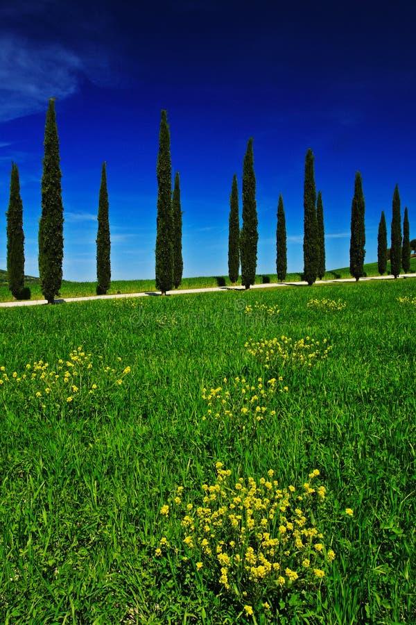 与清楚的深蓝天空,托斯卡纳,意大利的黄色和绿色花田 有花的黄色草甸 与柏树的黄色绽放 免版税库存照片