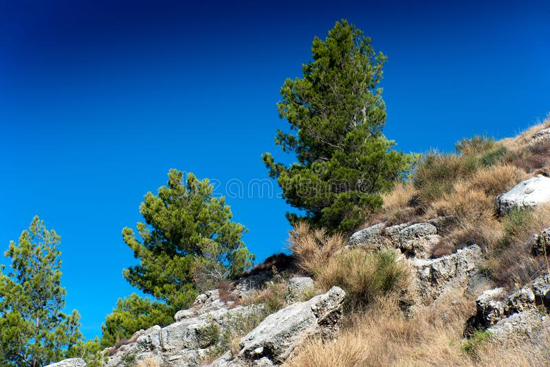与清楚的蓝天的杉树 免版税图库摄影