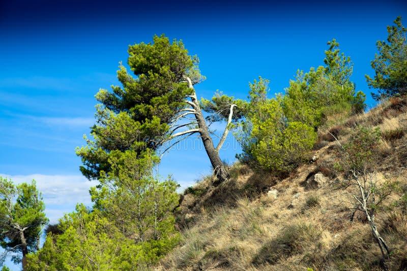 与清楚的蓝天的杉树 免版税库存照片