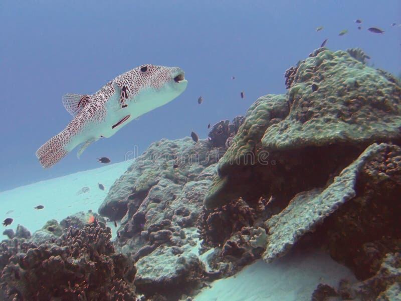 与清洁虾虎鱼的满天星斗的吹风者 库存照片