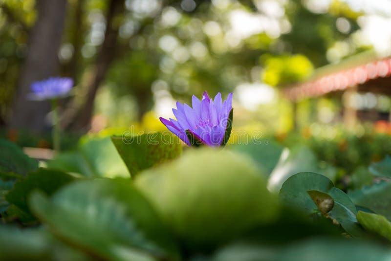 与温暖的光和bokeh的waterlily紫罗兰莲花 免版税图库摄影