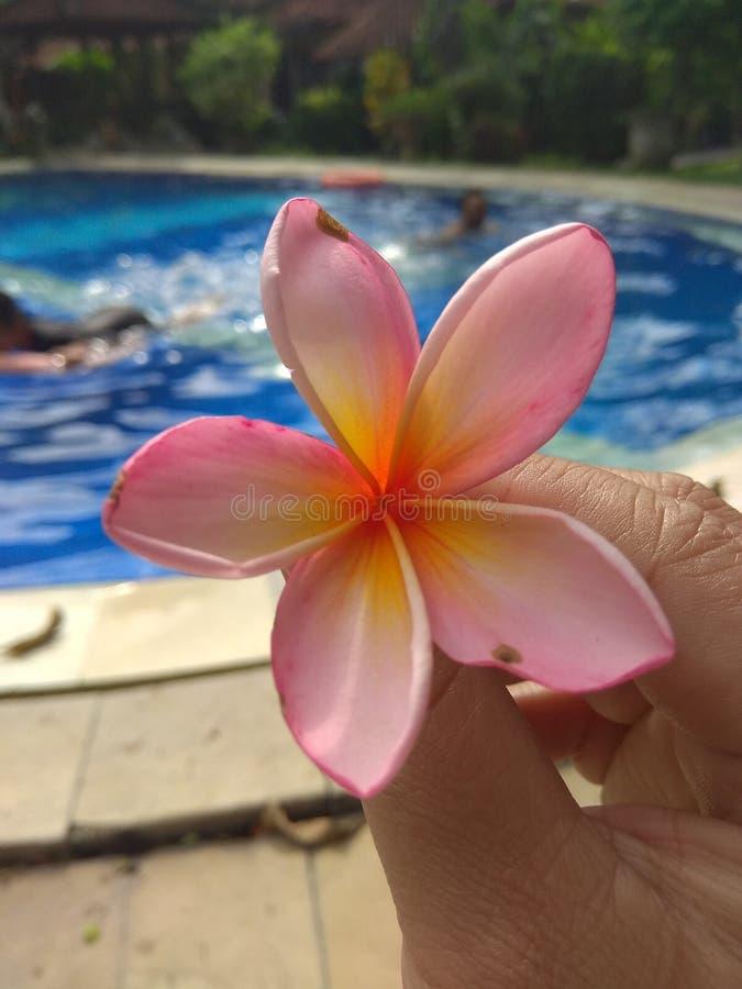 与游泳场的美丽的Kamboja花 免版税库存图片