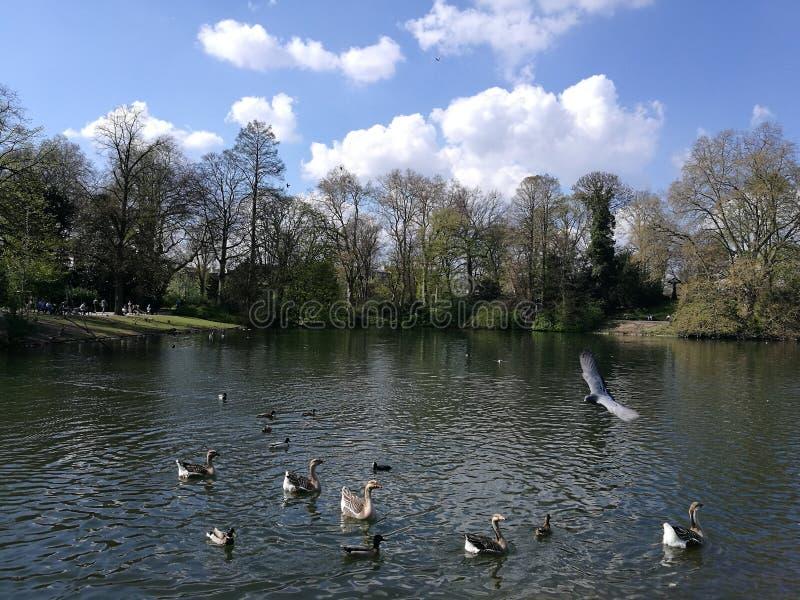 与游泳天鹅的水池在杜塞尔多夫太阳下 库存图片