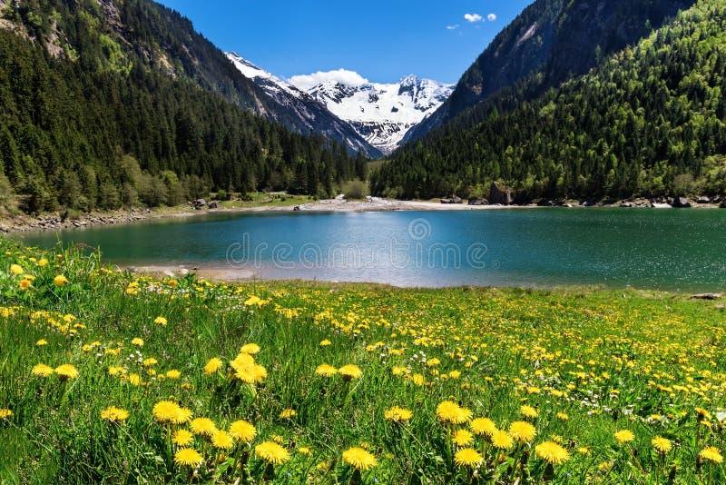 与湖和草甸的美好的山风景在前景开花 Stillup湖,奥地利,提洛尔 免版税库存照片