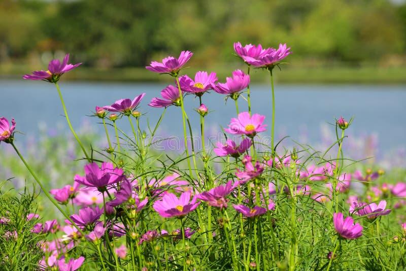 与湖的桃红色波斯菊在背景中 库存照片
