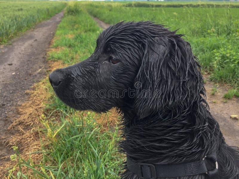 与湿头发的一条金黄狗 免版税库存图片