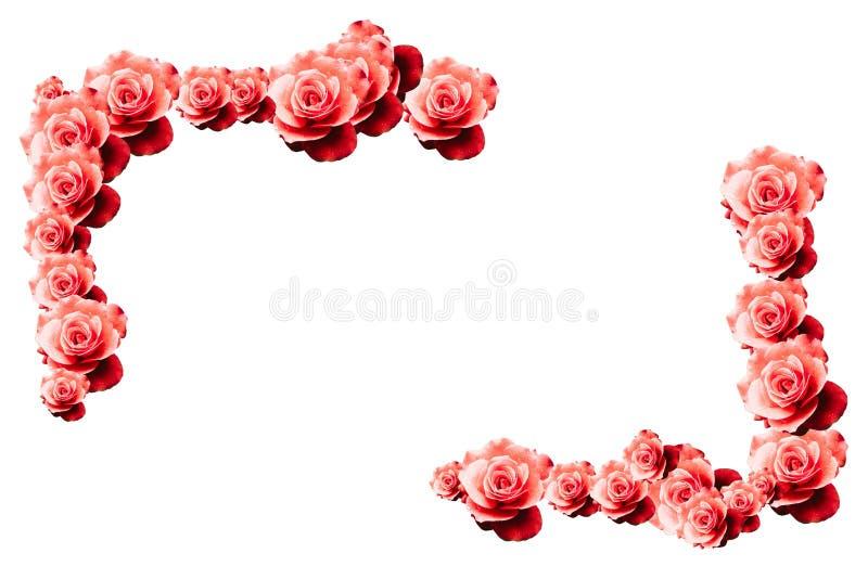 与湿红色桃红色白玫瑰花特写镜头样式边界设计角落的英国兰开斯特家族族徽花卉边界框架背景 免版税图库摄影